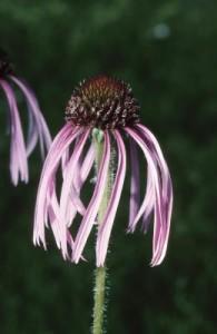 Cómo Curar con Hierbas Medicinales el Papiloma Humano